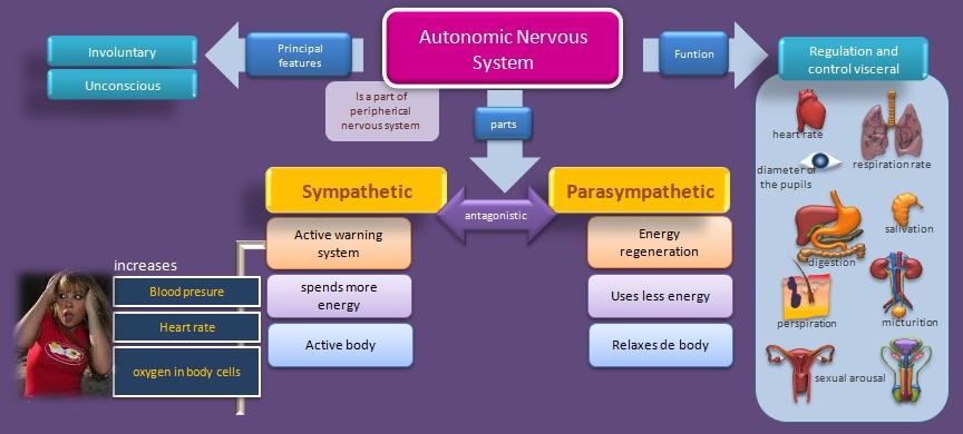 Educative diagrams autonomic nervous system diagram autonomic nervous system ccuart Gallery