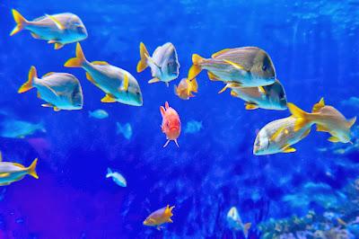 gambar ikan hias wallpaper