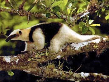 oso colmenero Tamandua mexicana