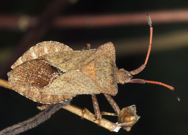 Dock Bug, Coreus marginatus.  Joyden's Wood, 12 May 2012.