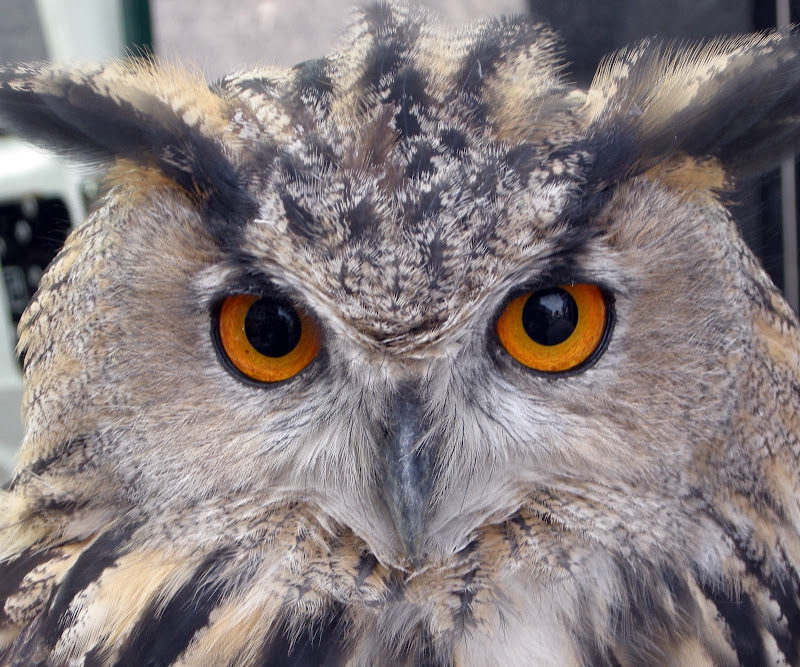 Eagle Owls are very large birds of prey, and would take a Buzzard if  title=