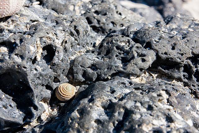 conchiglia mauritius isole maurizius roccia vulcanica