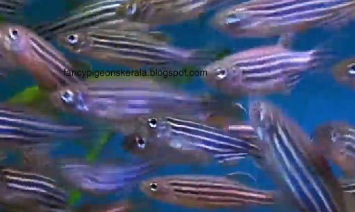 ornamental fishing in india The growth of ornamental fish trade in india is very much encouraging most of  the ornamental fishes cultured and marketed in india are exotic species.