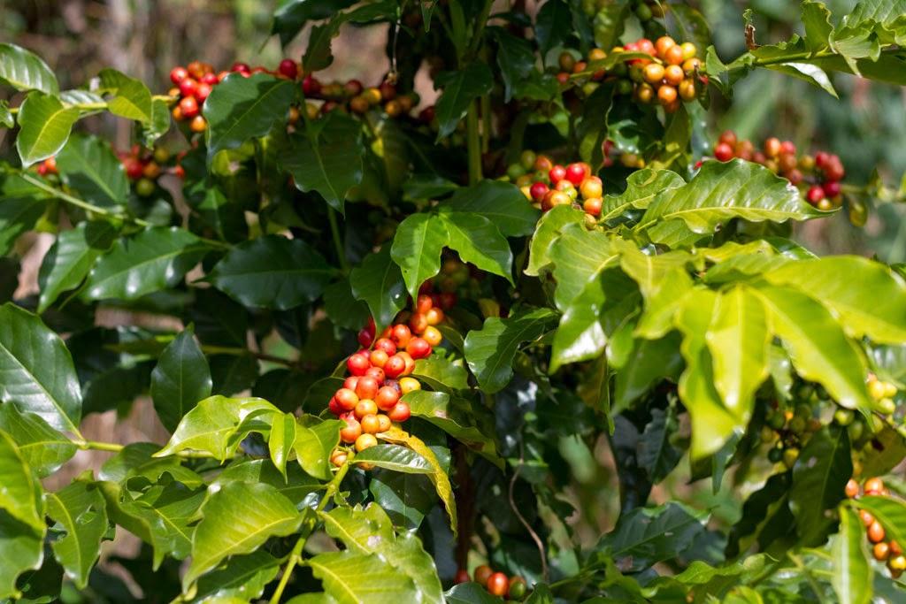 Cachos de café maduro.Foto: Yuri Hayashi