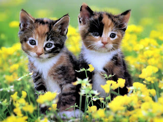 Kittens Wallpapers