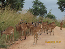 Impala herd west of Skukuza Camp, Kruger National Park, South Africa