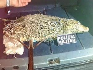 Jacaré foi recapturado após fugir em Conquista. (Foto: Perivaldo Gonzaga/Site Elite Notícias Blog)