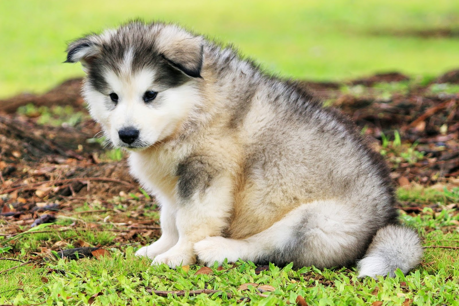 BRITTNEYS PUPPIES ONLINE HAWAII: Alaskan Malamutes Are ... | 1600 x 1066 jpeg 441kB