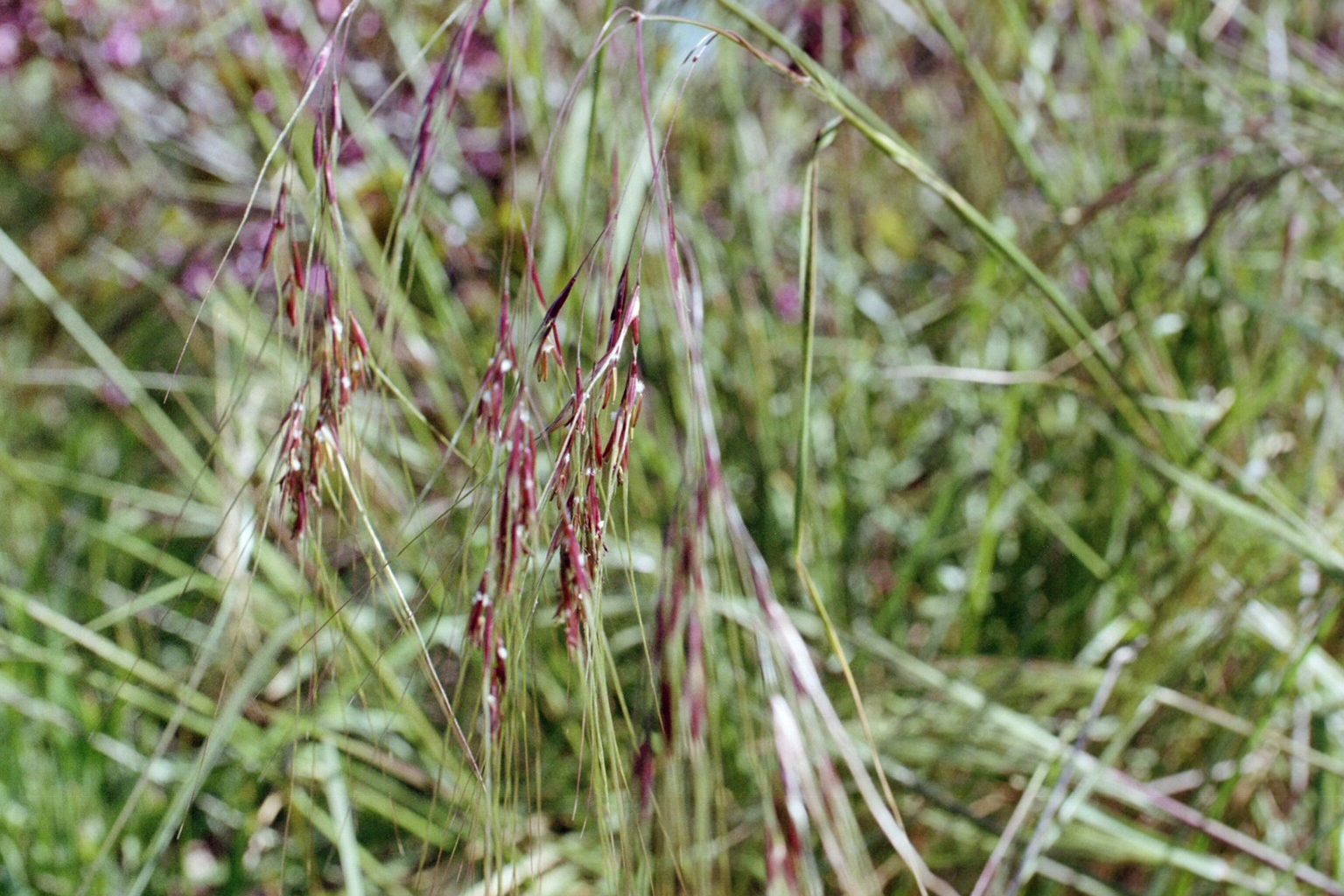 Be ing rooted a practice in essential living grasses for Purple grass