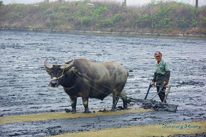 口湖-清別阿伯 有犁池塘的水牛