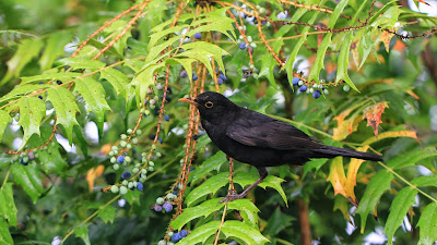 Right Blackbird in a Mahonia