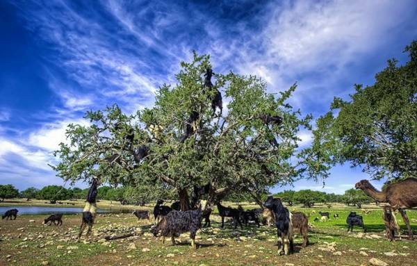 Goats Graze on Trees