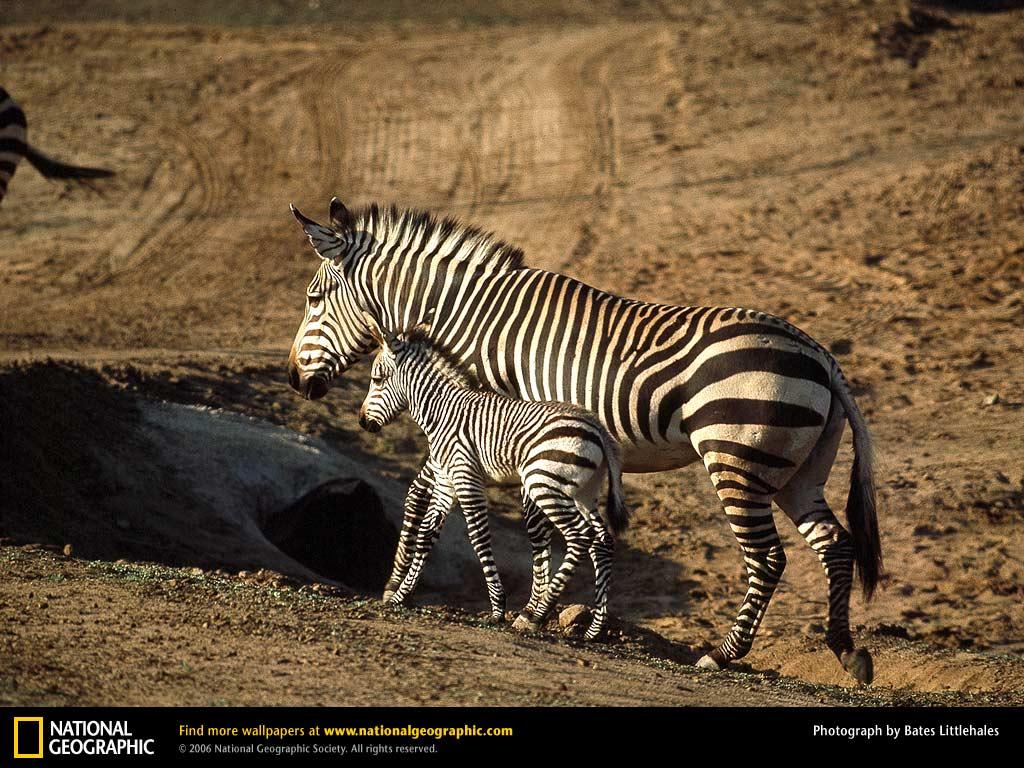 Los animales: los mejores camarógrafos de la vida salvaje  - fotos animales salvajes national geographic