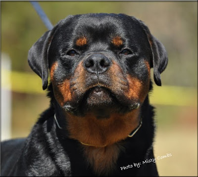 Rottweiler dog pictures
