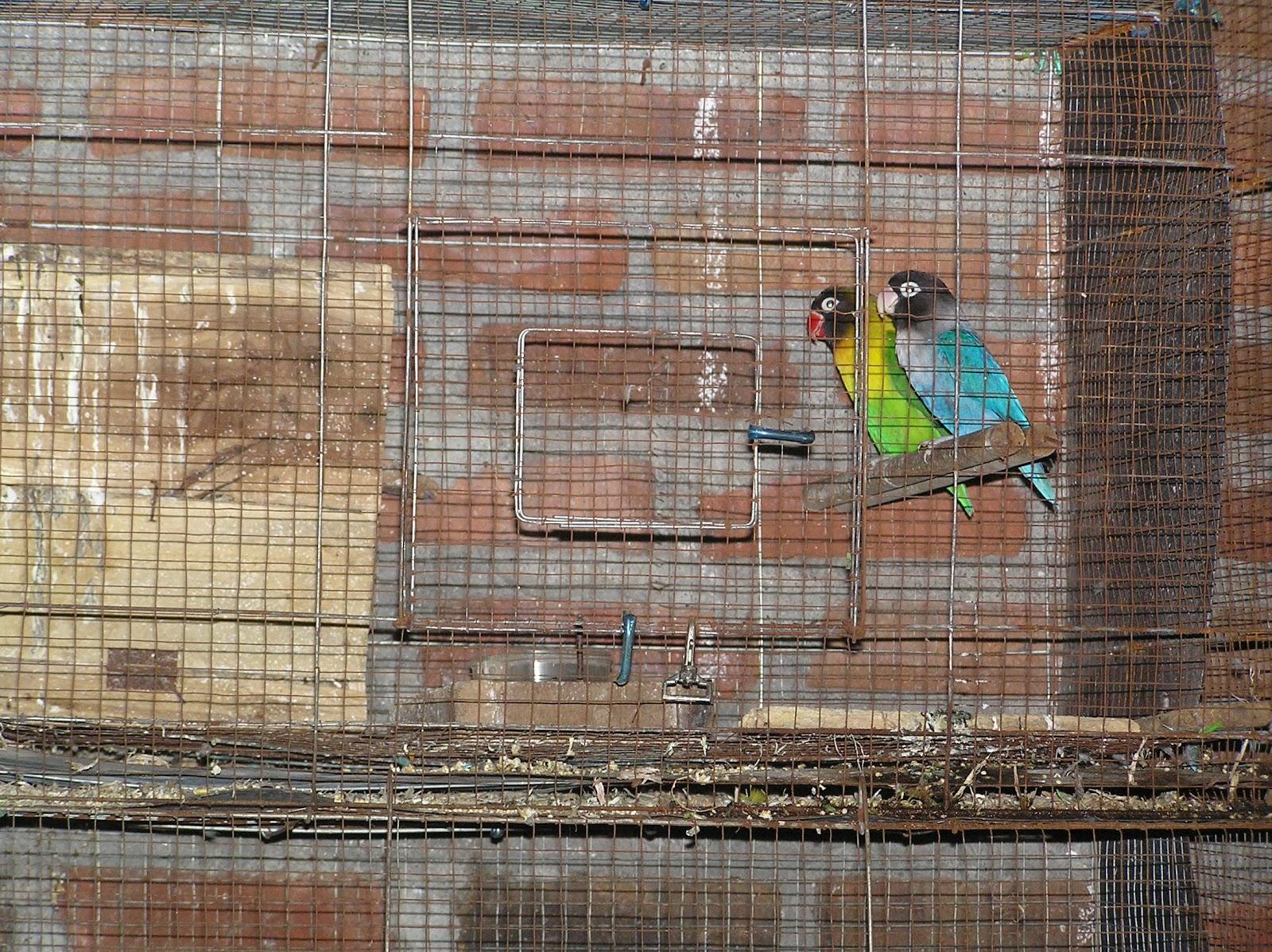 komunitas kicau mania surabaya utara ternak love bird