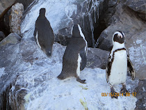 Jackass Cape Point Penguins on the way to The Cape of Good Hope
