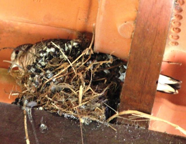 As rolinhas fogo-apagou dividem o ninho durante a choca