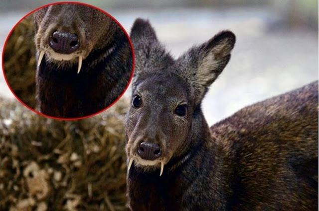 Rusa Vampir atau Musk Deer