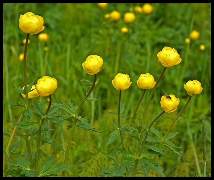 The Yellow Globe Flower Was Particularly Abundant In England And Often Found Growing Near Water Mills Since They Thrived Damp Rich Ground