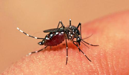 Nyamuk Aedes aegypti penyebab chikungunya