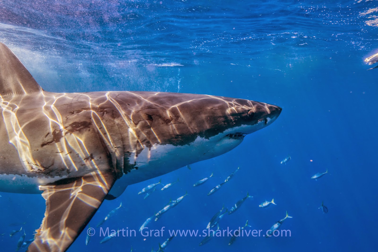 chugey is back at guadalupe shark diver here is what he looks like his old scar and new bite marks