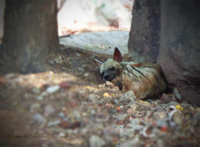 hyena, striped hyena, hyena face, sleeping hyena