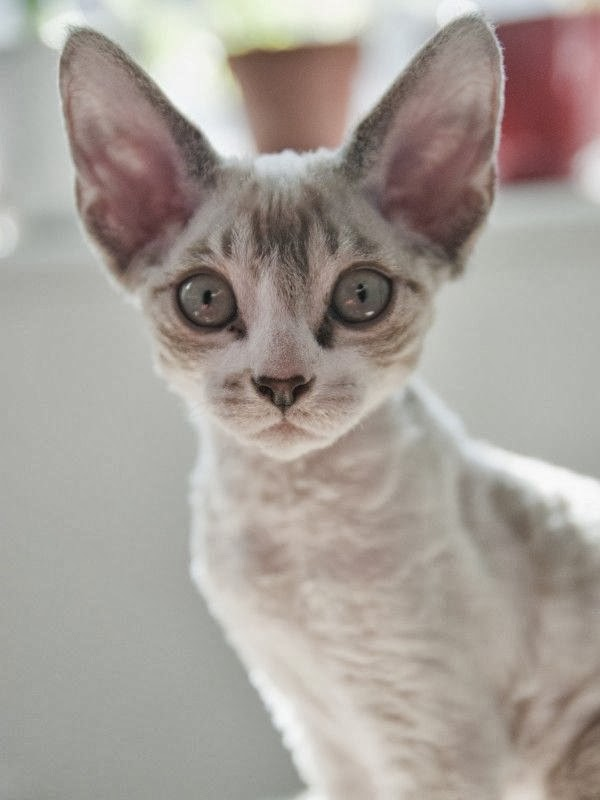 Are Cornish Rex Hypoallergenic?