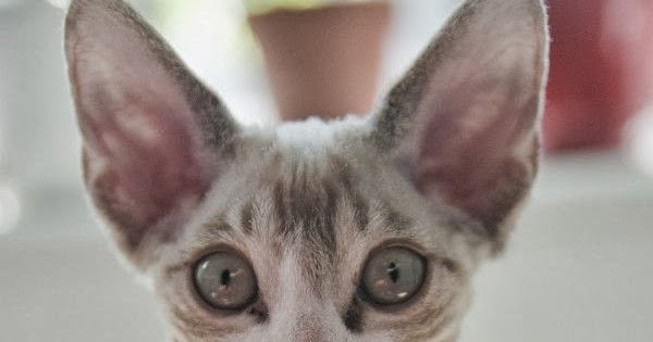 Are Cornish Rex Hypoallergenic Annie Many