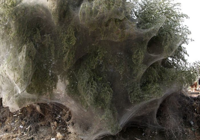 Spider Invasion in Pakistan7