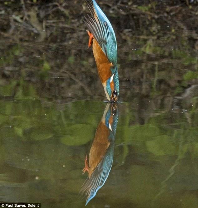 gambar burung raja udang - gambar udang