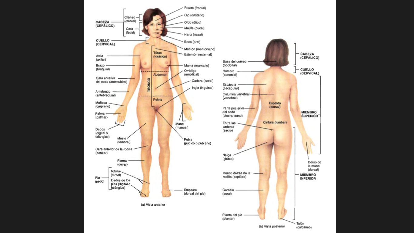 Moderno Términos Direccionales En La Anatomía Bosquejo - Anatomía de ...