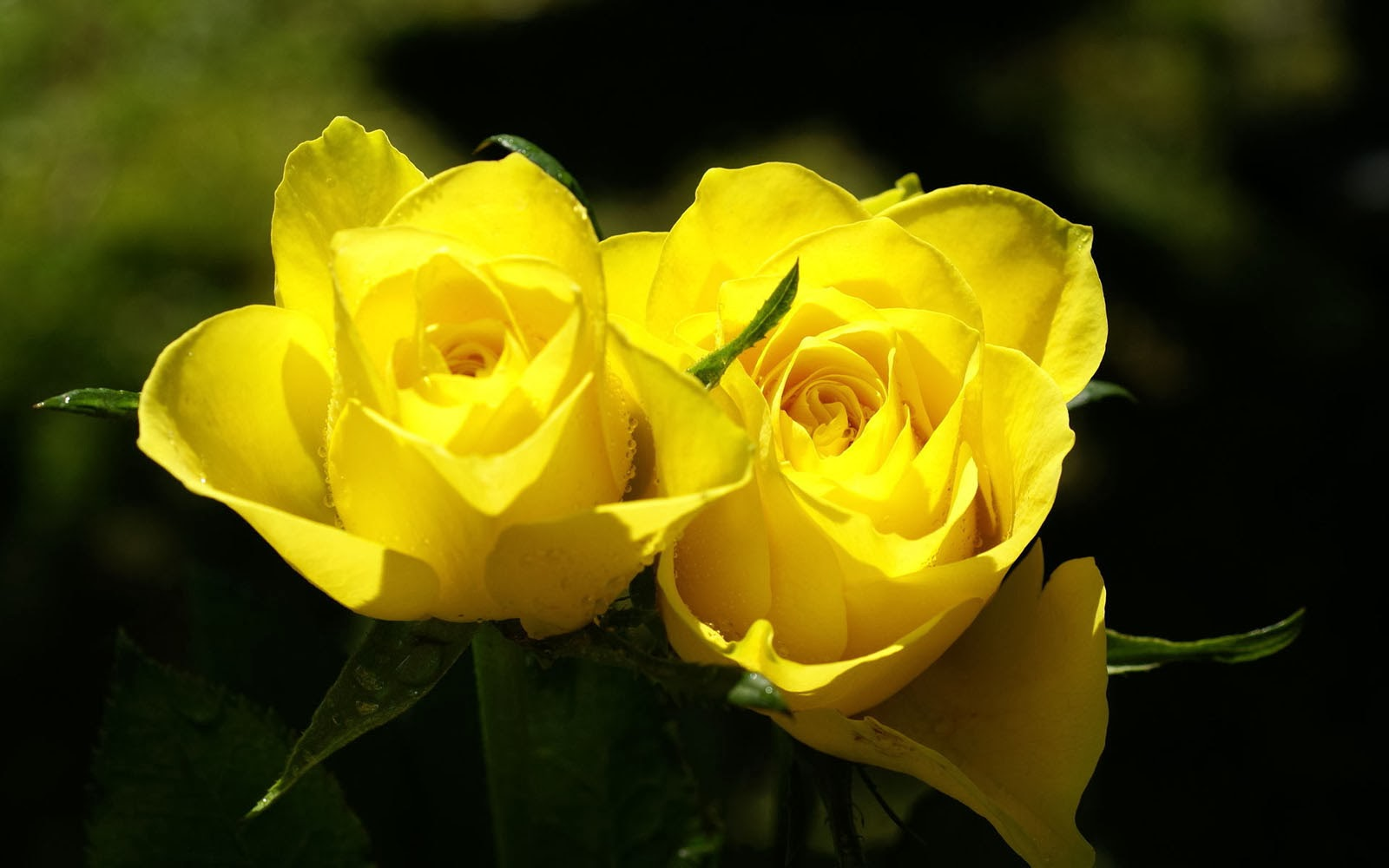wallpaper of yellow roses - photo #3