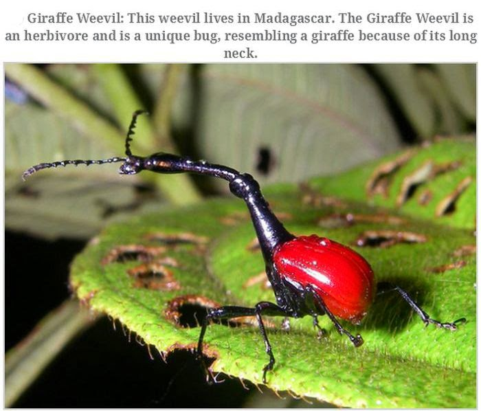 Weird animals (20 pics), strange animal pictures, giraffe weevil