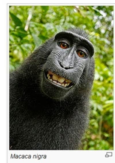 Selfie feita por macaco vira caso de Justiça