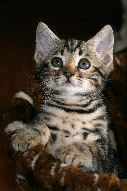 How to groom a Bengal Cat?