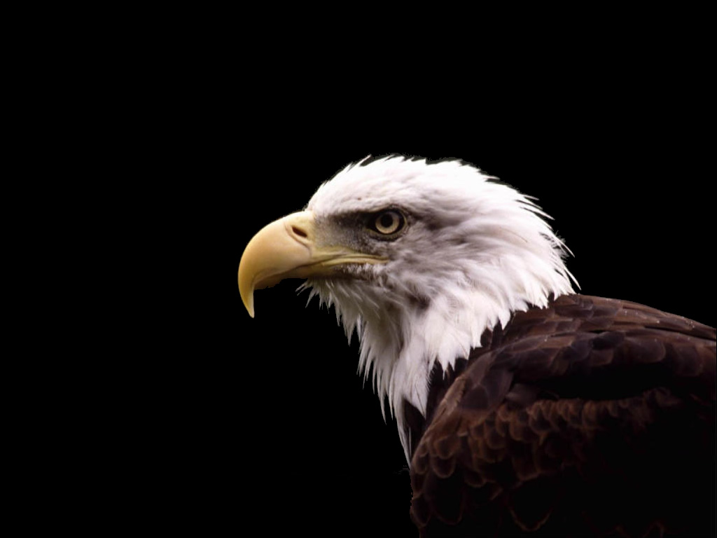 Eagle Hawk Wallpapers | Fun Animals Wiki, Videos, Pictures ...