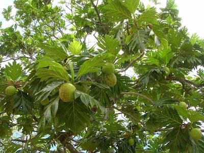 khasiat buah sukun