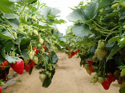 http://1.bp.blogspot.com/-y2busma95bI/TdvzYIyOwsI/AAAAAAAABv0/NIxZ0Jx3UOU/s1600/hanging-strawberry-plants_lg.jpg
