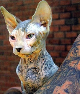 Sphynx Cat Pictures Information