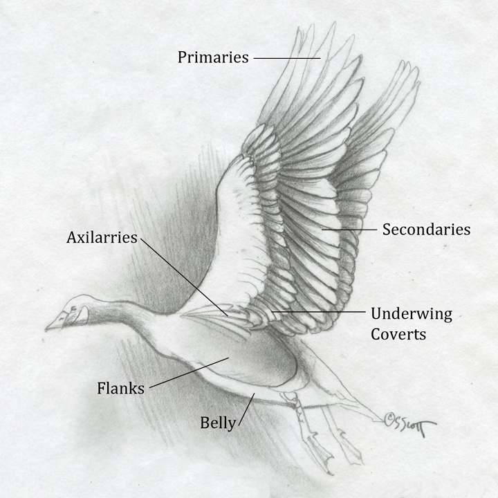 Sandy Scott Art: #426 In the studio: Bird anatomy, con\'t . . .