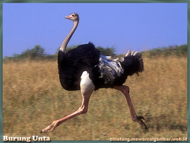 gambar burung unta