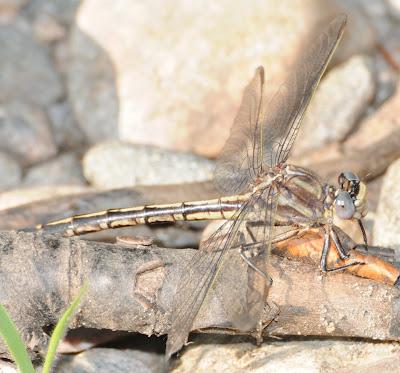 Dusky Clubtail (Gomphus spicatus)