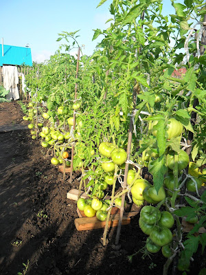 4 августа, грядка индетерминантных помидоров
