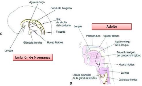 Tiroides. Anatomía, Embriología y Fisiología | Endocrinología ...