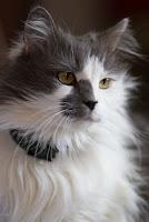 gato blanco y gris de pelo largo