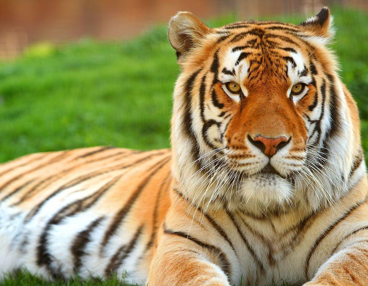 High Resolution Tiger