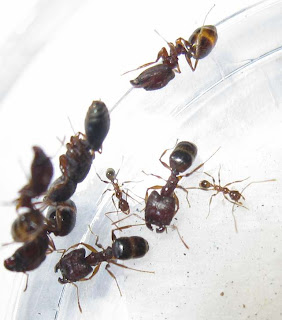 Queen and major workers of Pheidole sp