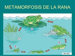 La metamorfosis de la rana.