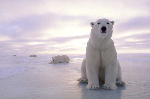 Most Amazing Almost Extinct Animals Polar Bear