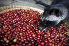 Luwak hanya memilih buah kopi terbaik